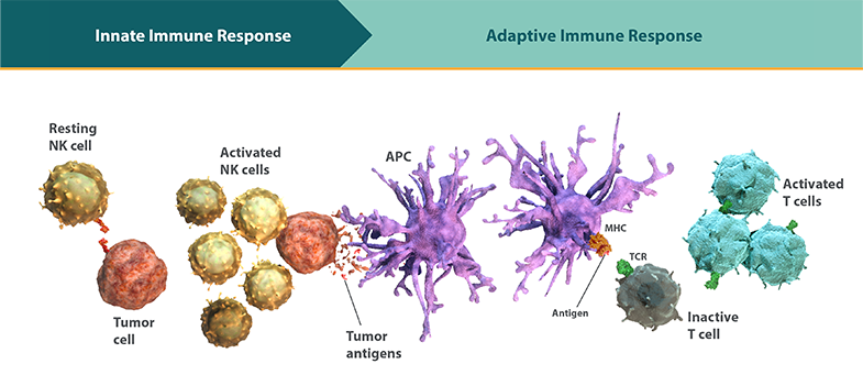Diagram of the innate and adaptive immune response