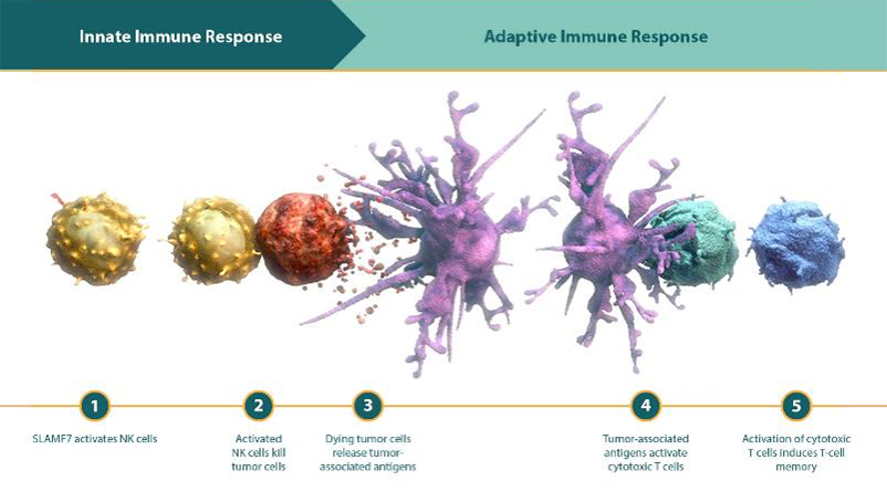 Diagram of how NK cell activation through SLAMF7 can impact innate and adaptive immunity
