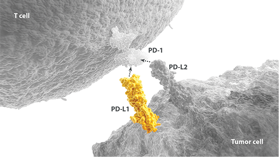 PD-L1 pathway expressed on a T cell and tumor cell diagram