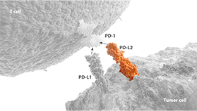 PD-L2 pathway expressed on a T cell and tumor cell diagram