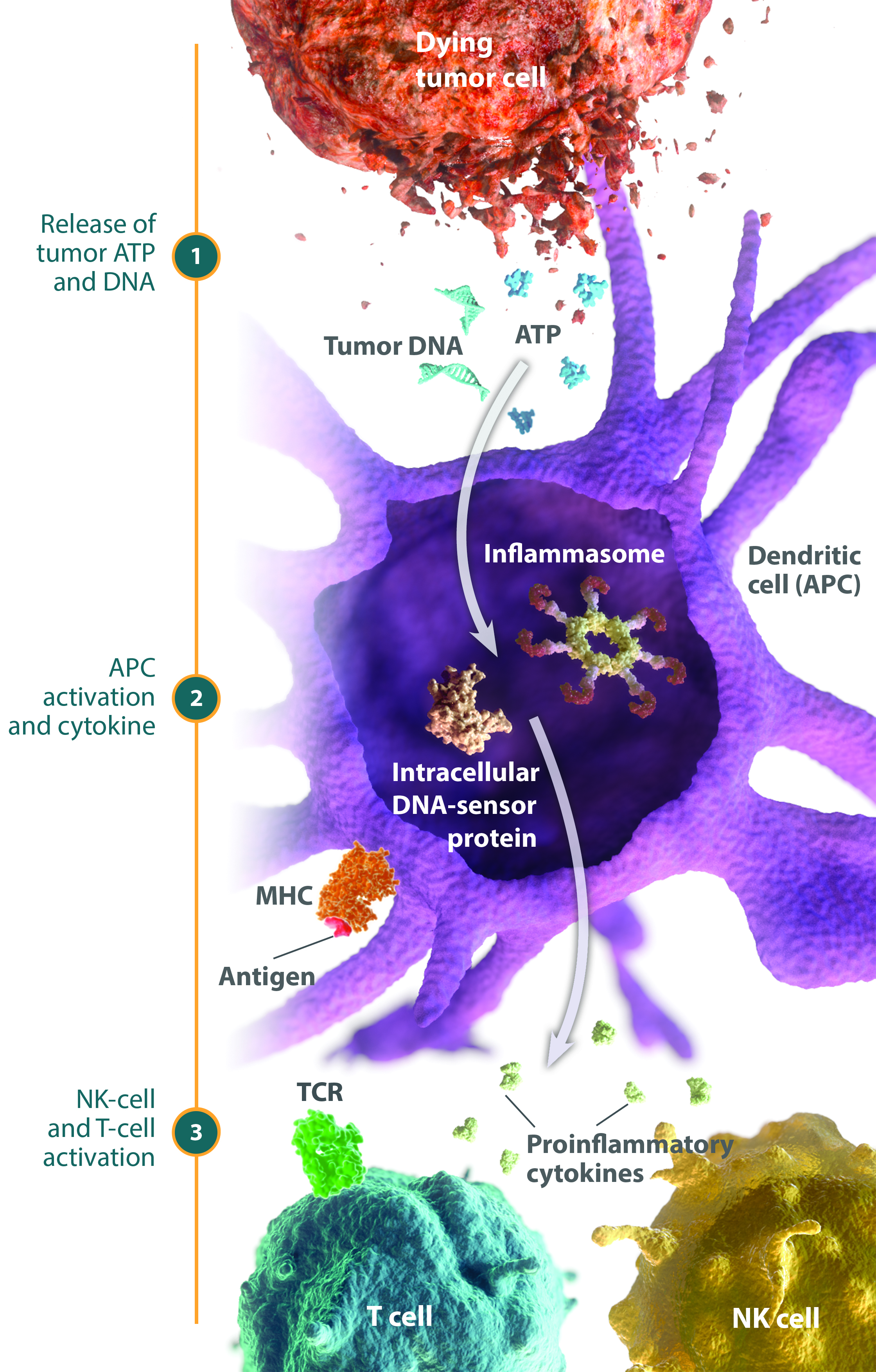 Diagram of inflammasome and intracellular DNA-sensor protein activity inside of a Dendritic cell