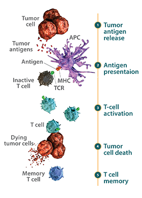 Diagram of t-cell priming initiating the adaptive immune response