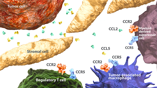 Diagram of CCR2/CCR5 pathways between immunosuppressive cells