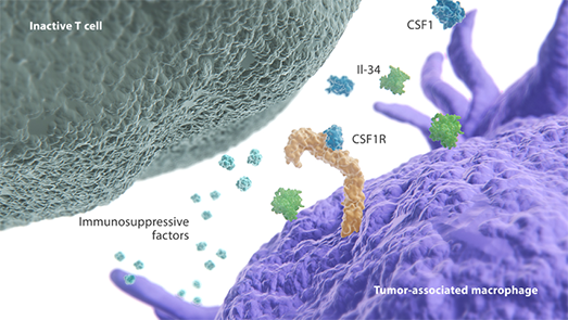 CSF1R pathway expressed on an inactive T cell and tumor-associated macrophage diagram