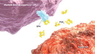EP4 pathway expressed on a myeloid-derived suppressor cell and tumor cell diagram