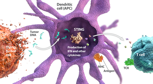 STING pathway producing IFN and other cytokines expressed in a Dendritic cell diagram